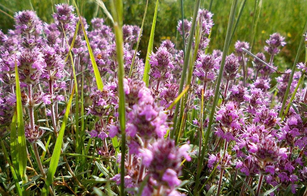 Лекарственные растения - фото, описание