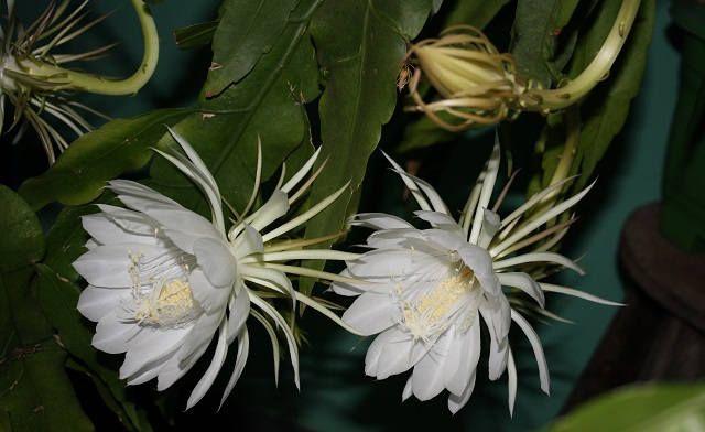 Орхидейные кактусы