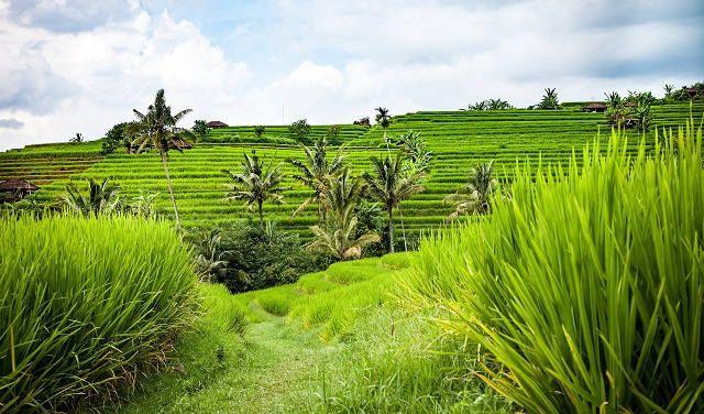 Рисовые террасы Тегаланг