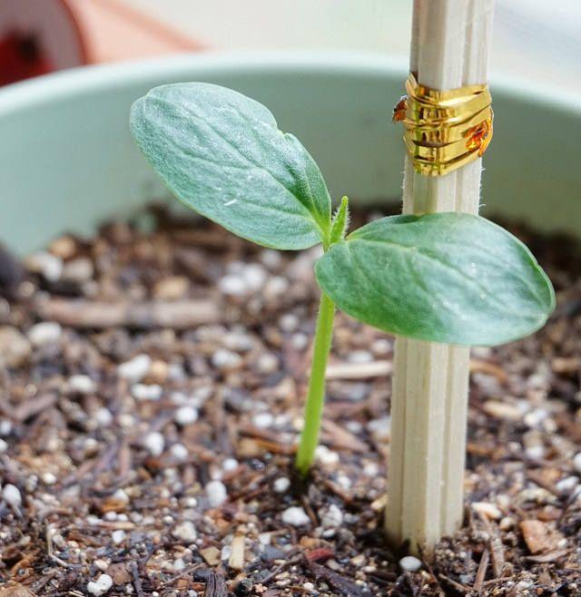 Какие хорошие семена огурцов сажать 875