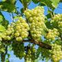 Выращивание винограда из черенков или горизонтальными отводками