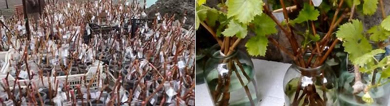Выращивание лоз из черенков