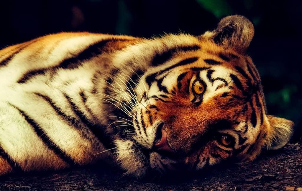 Тигр Бык совместимость