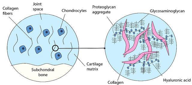 Гиалуроновая кислота в клетках кожи