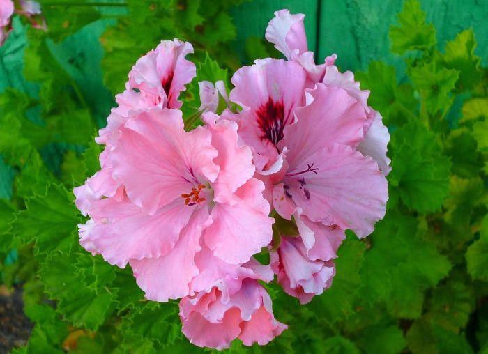 Крупные цветы герани