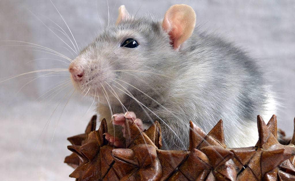 Мужчина крыса