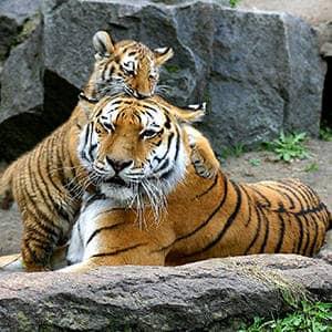 Совместимость Тигра