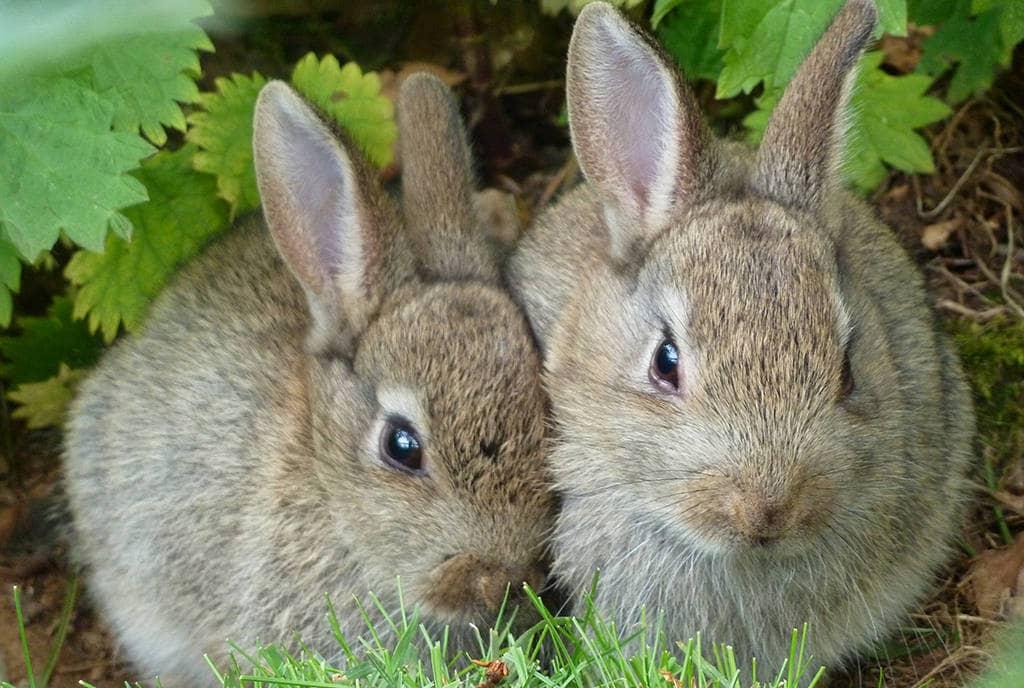 Совместимость Кролика и Кролика